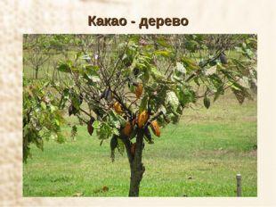 Какао - дерево