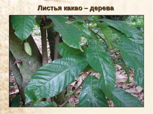 Листья какао – дерева