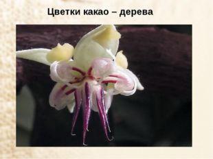 Цветки какао – дерева