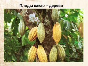 Плоды какао – дерева