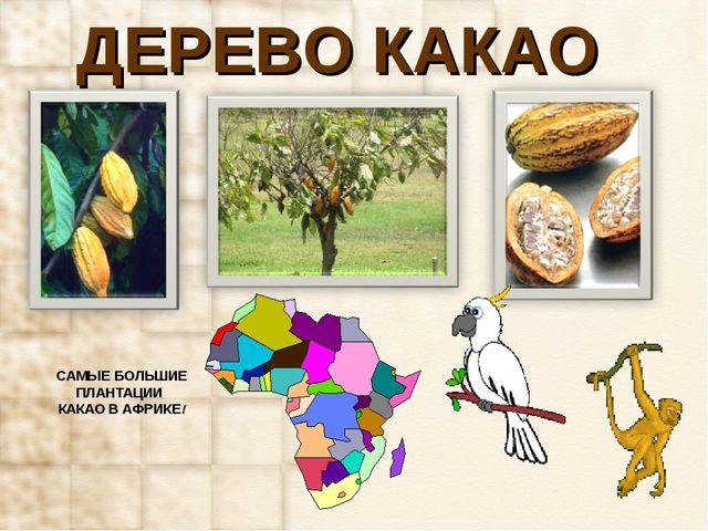 ДЕРЕВО КАКАО САМЫЕ БОЛЬШИЕ ПЛАНТАЦИИ КАКАО В АФРИКЕ!