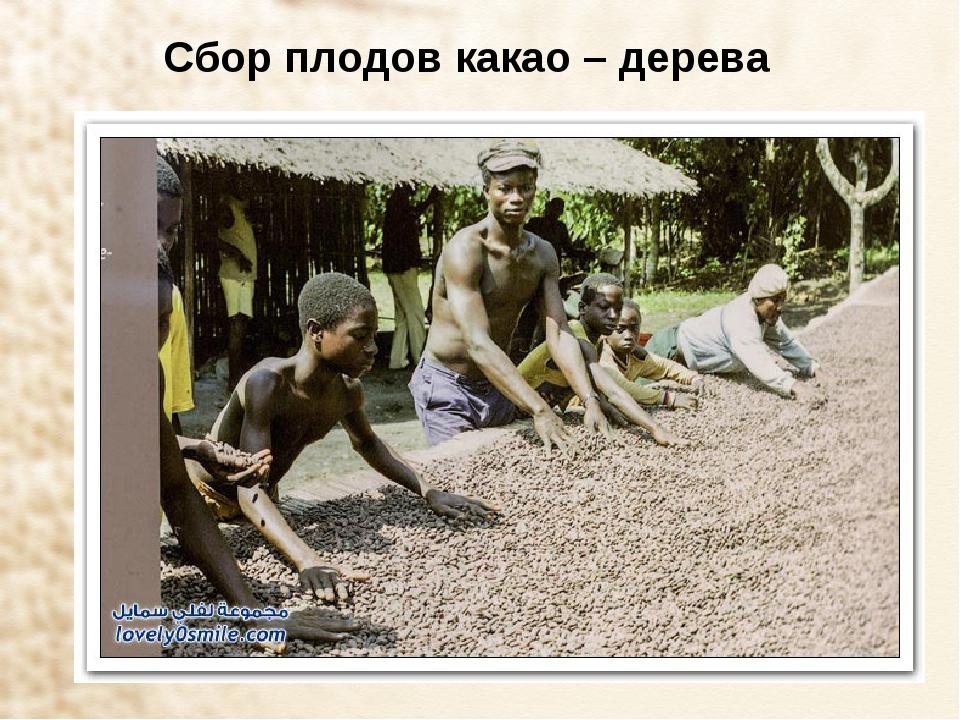 Сбор плодов какао – дерева