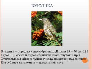 КУКУШКА Кукушка – отряд кукушкообразных. Длина 15 – 70 см, 129 видов. В Росси