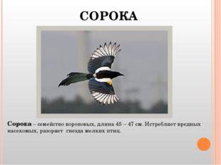 СОРОКА Сорока – семейство вороновых, длина 45 – 47 см. Истребляет вредных нас