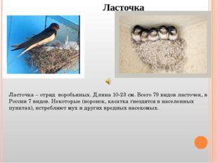 Ласточка Ласточка – отряд воробьиных. Длина 10-23 см. Всего 79 видов ласточек