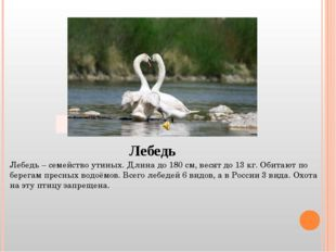 Лебедь Лебедь – семейство утиных. Длина до 180 см, весят до 13 кг. Обитают по