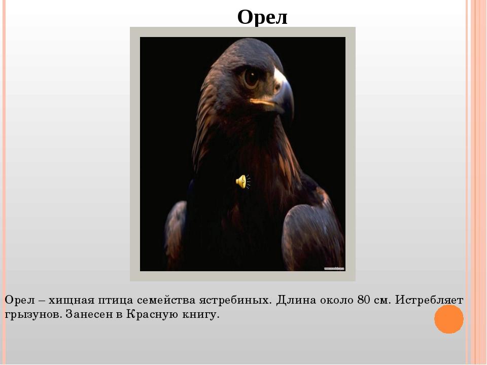 Орел Орел – хищная птица семейства ястребиных. Длина около 80 см. Истребляет...