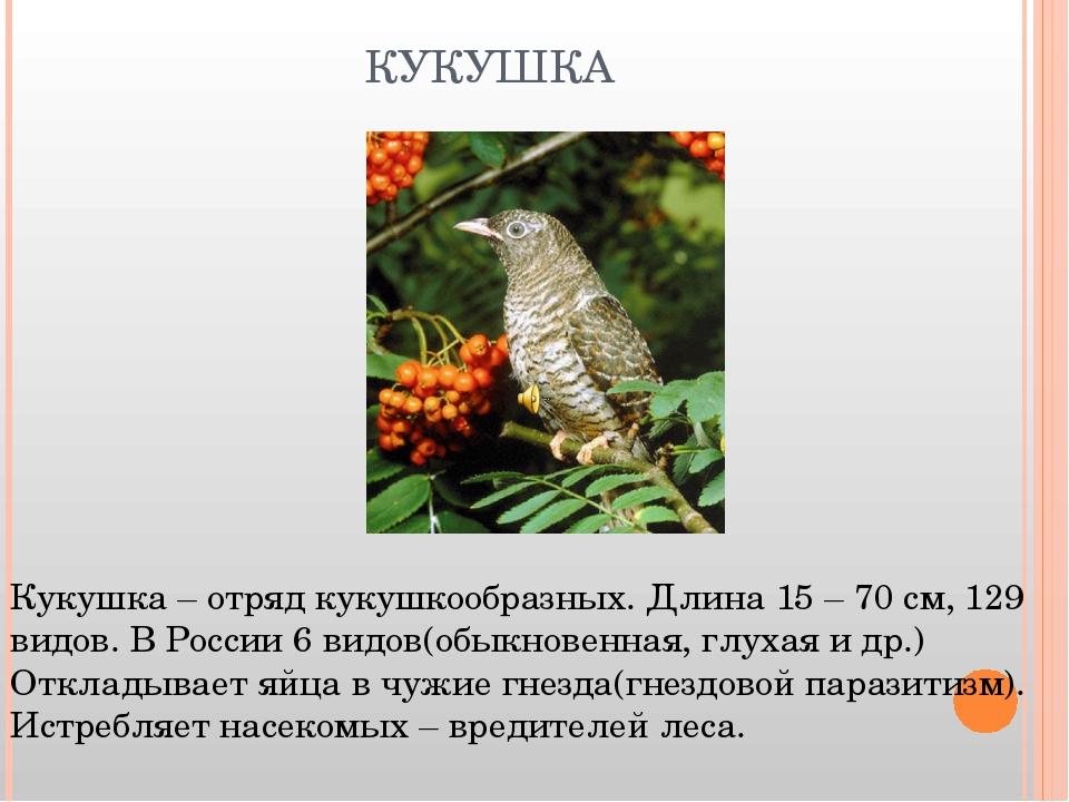КУКУШКА Кукушка – отряд кукушкообразных. Длина 15 – 70 см, 129 видов. В Росси...