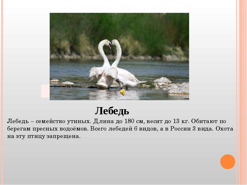 Лебедь Лебедь – семейство утиных. Длина до 180 см, весят до 13 кг. Обитают по...