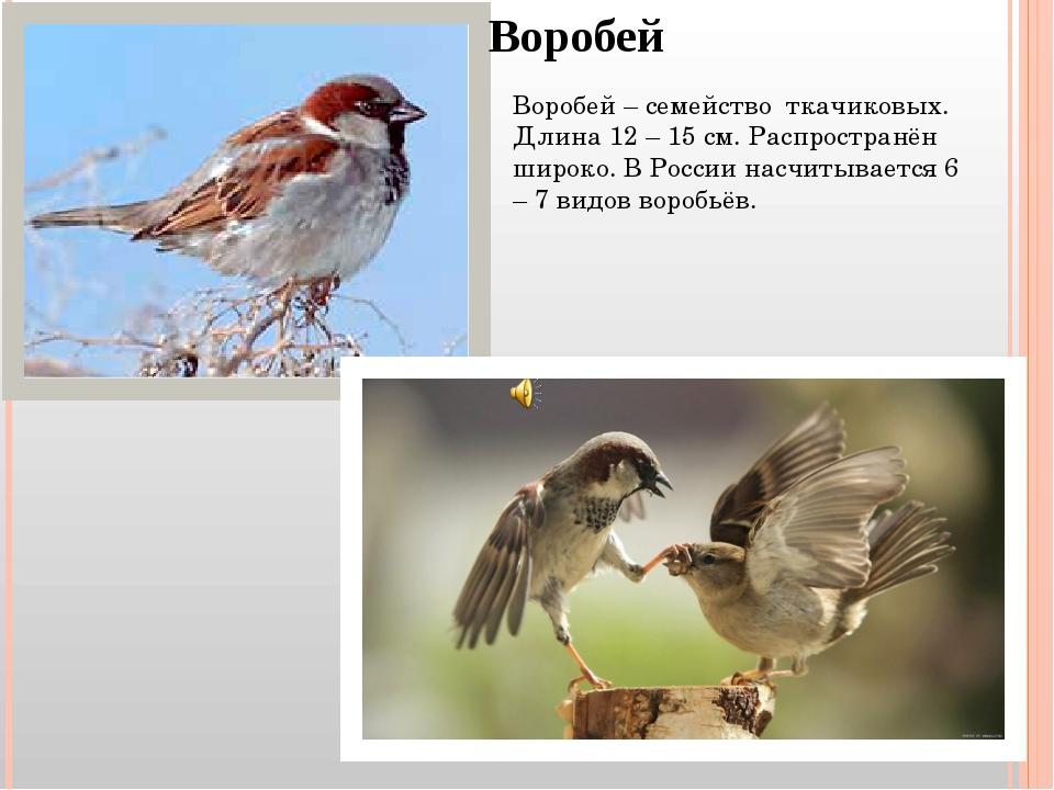 Воробей Воробей – семейство ткачиковых. Длина 12 – 15 см. Распространён широк...