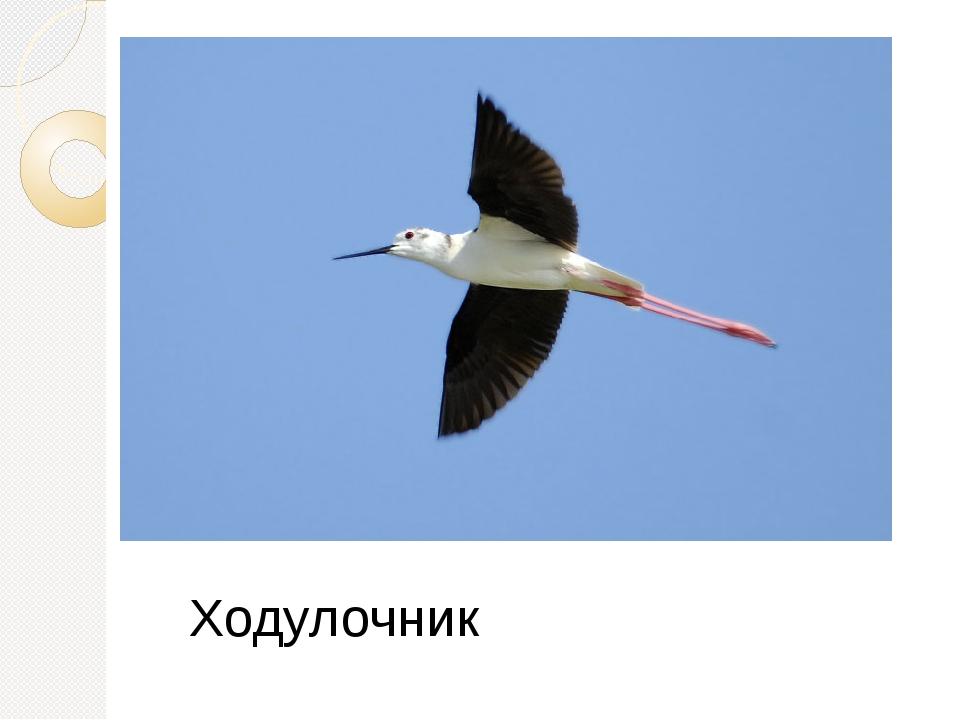 Ходулочник