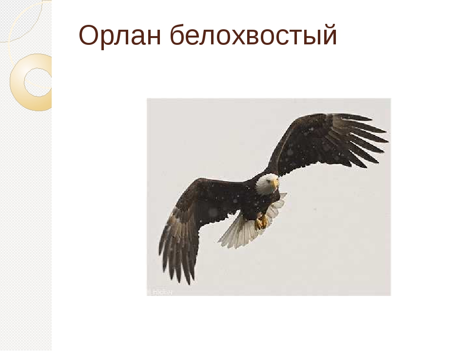 Орлан белохвостый