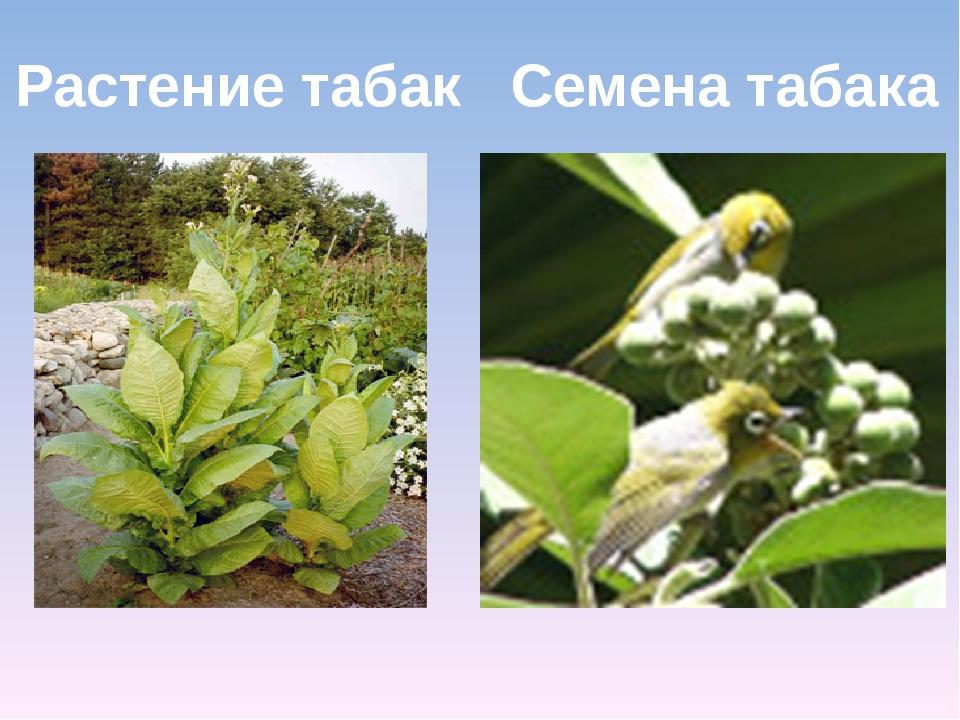 Растение табак Семена табака
