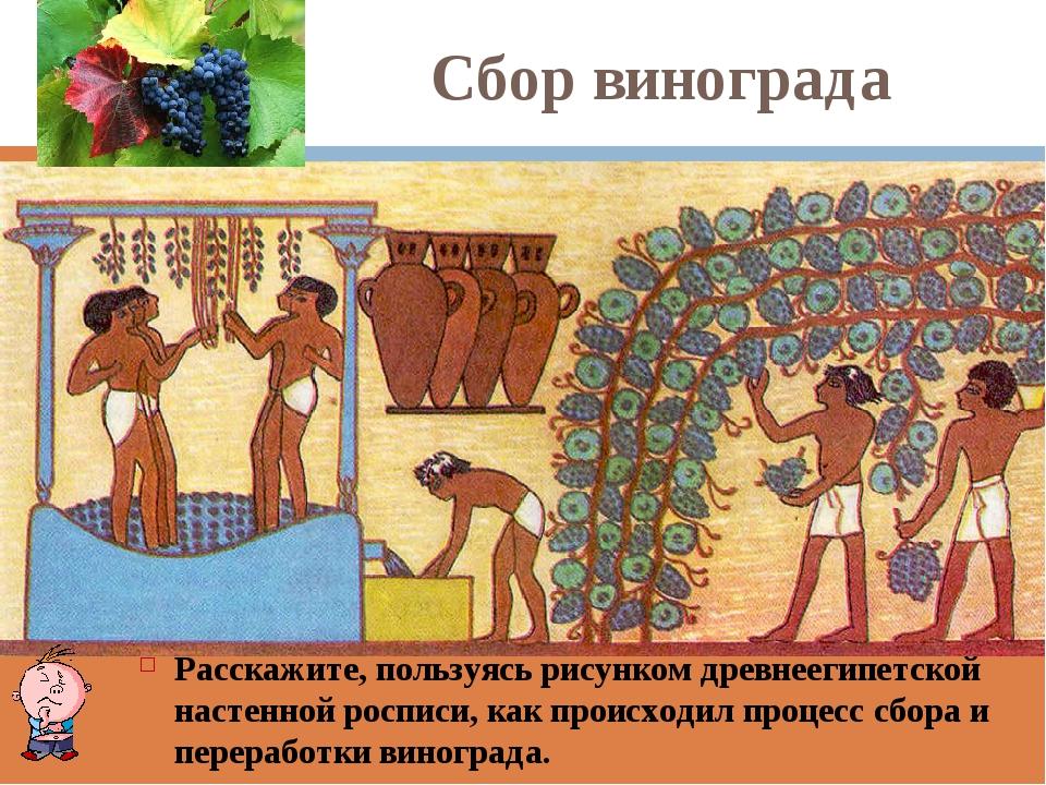 Сбор винограда Расскажите, пользуясь рисунком древнеегипетской настенной росп...