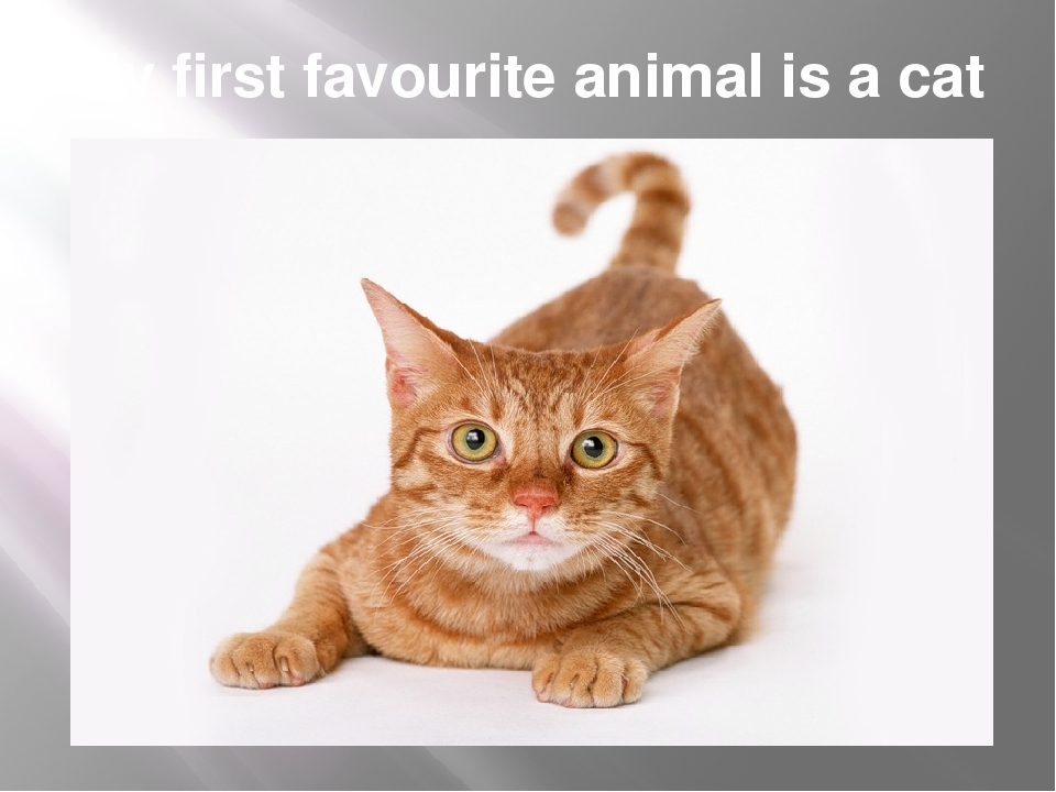 My first favourite animal is a cat