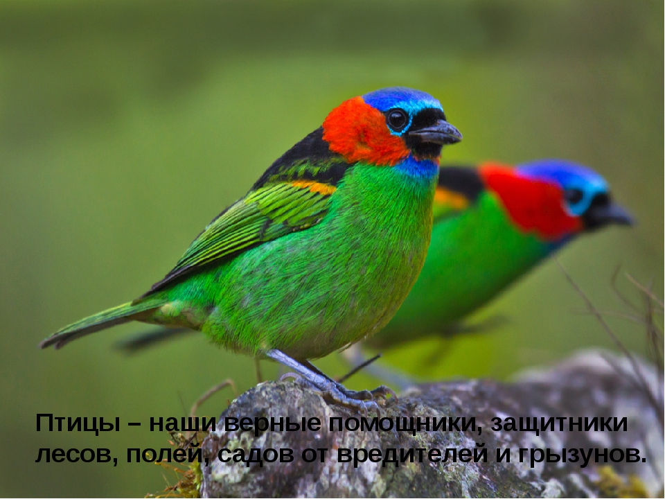 Птицы – наши верные помощники, защитники лесов, полей, садов от вредителей и...