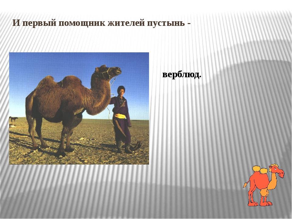 И первый помощник жителей пустынь - верблюд.
