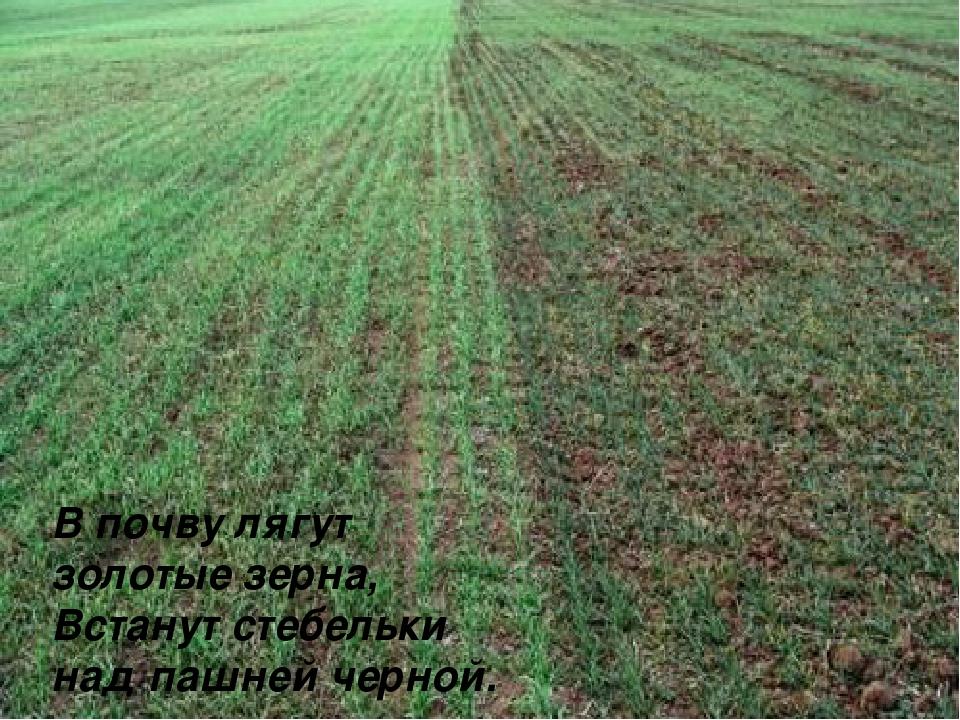 В почву лягут золотые зерна, Встанут стебельки над пашней черной.