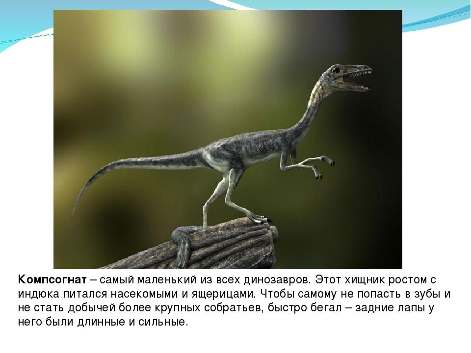Компсогнат– самый маленький из всех динозавров. Этот хищник ростом с индюка...