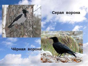 Серая ворона Чёрная ворона