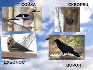 СОЙКА. СКВОРЕЦ ДУБОНОС ВОРОН