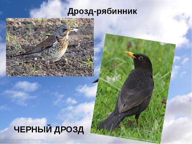 ЧЕРНЫЙ ДРОЗД Дрозд-рябинник