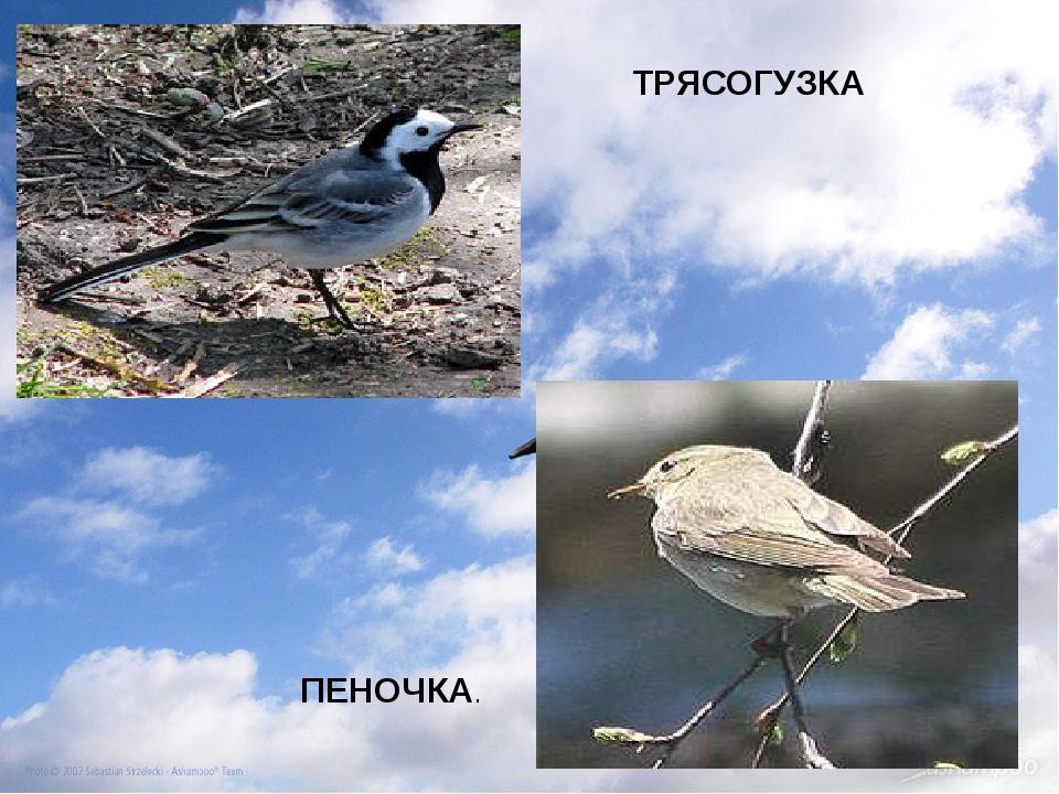 ТРЯСОГУЗКА ПЕНОЧКА.