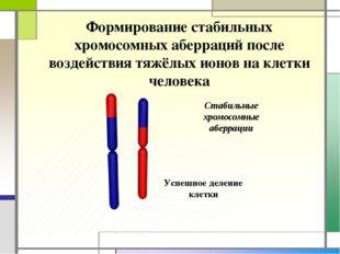 Стабильные хромосомные аберрации Формирование стабильных хромосомных аберраци