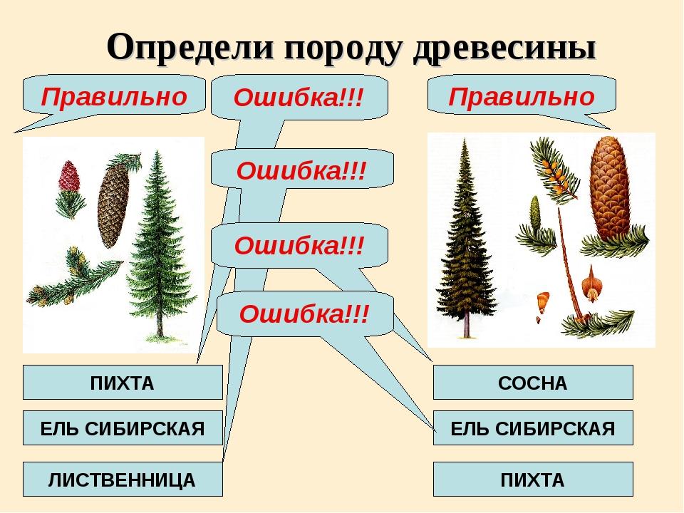 ЕЛЬ СИБИРСКАЯ Определи породу древесины Ошибка!!! ПИХТА ЛИСТВЕННИЦА Правильно...