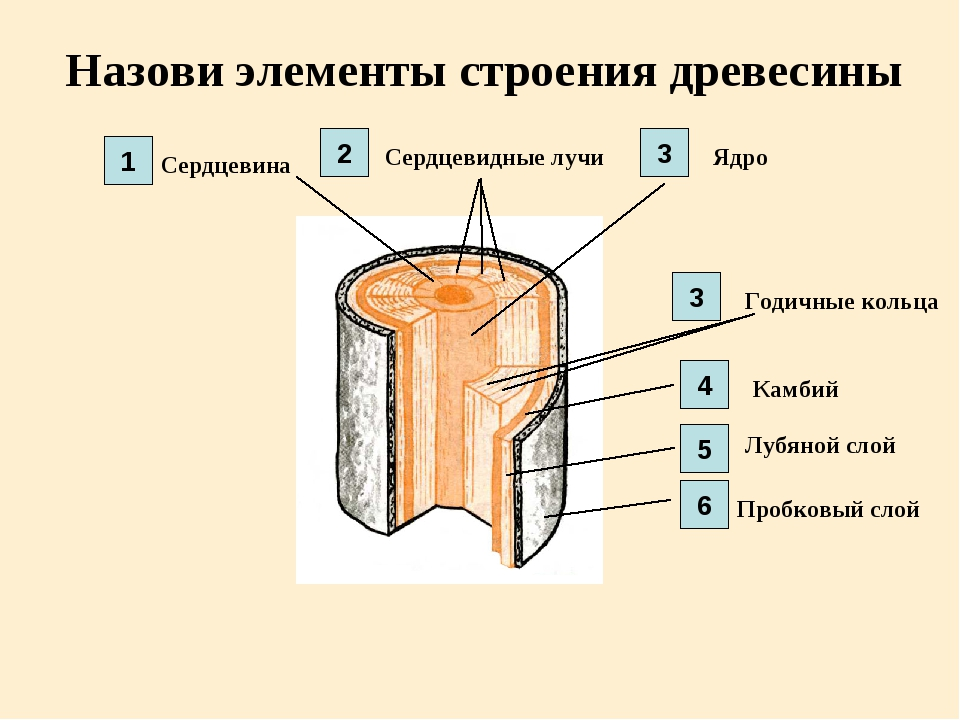 Назови элементы строения древесины Сердцевина Сердцевидные лучи Ядро Годичные...