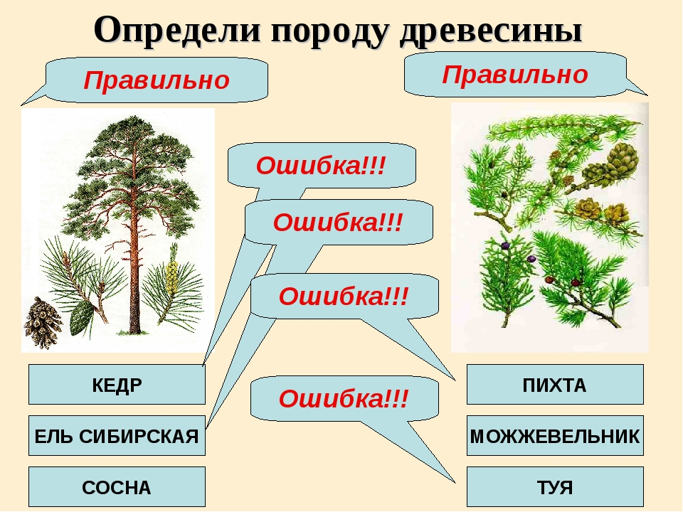 Определи породу древесины КЕДР ЕЛЬ СИБИРСКАЯ СОСНА ПИХТА МОЖЖЕВЕЛЬНИК ТУЯ Оши...