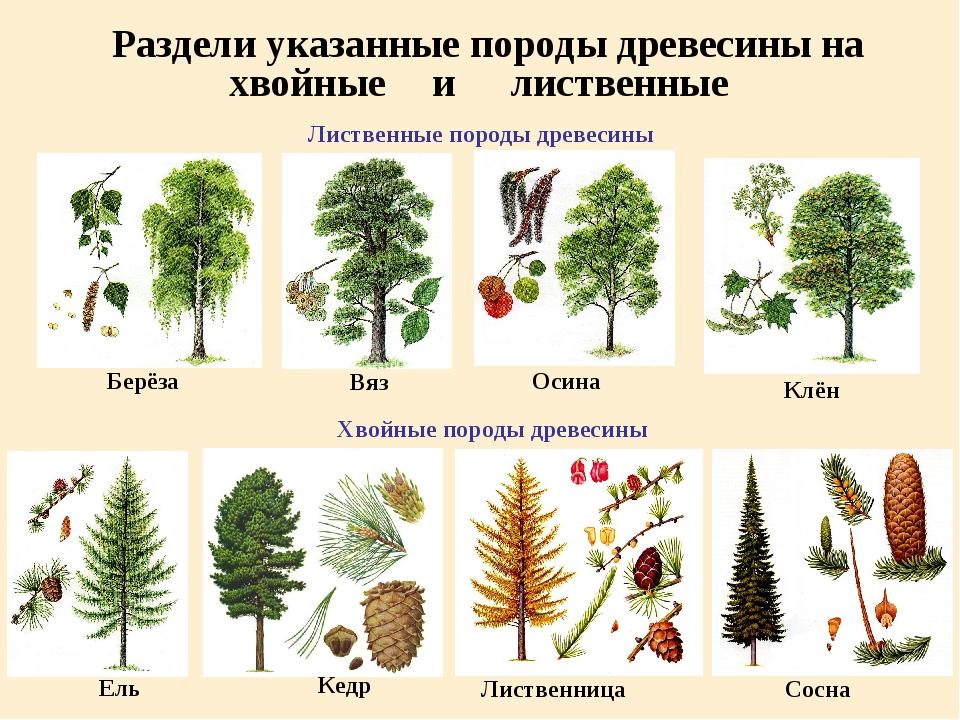 Раздели указанные породы древесины на Лиственные породы древесины Берёза Вяз...