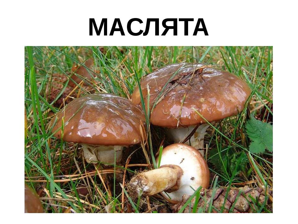 МАСЛЯТА