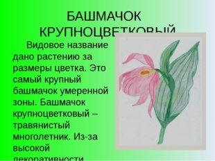 БАШМАЧОК КРУПНОЦВЕТКОВЫЙ Видовое название дано растению за размеры цветка. Эт