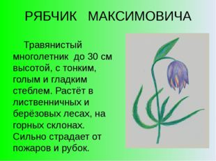 РЯБЧИК МАКСИМОВИЧА Травянистый многолетник до 30 см высотой, с тонким, голым