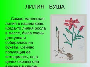 ЛИЛИЯ БУША Самая маленькая лилия в нашем крае. Когда-то лилия росла в массе,