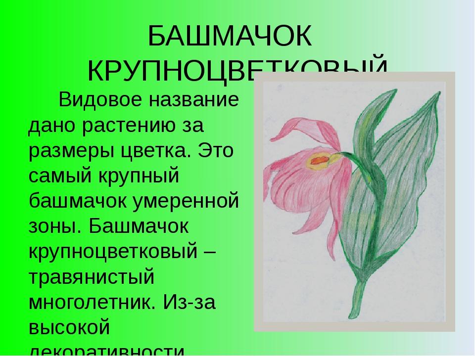 БАШМАЧОК КРУПНОЦВЕТКОВЫЙ Видовое название дано растению за размеры цветка. Эт...