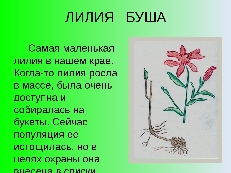 ЛИЛИЯ БУША Самая маленькая лилия в нашем крае. Когда-то лилия росла в массе,...