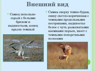 Внешний вид Самец пепельно-серый с белыми брюхом и надхвостьем, конец крыла т