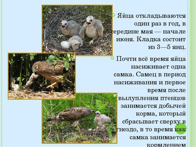 Яйца откладываются один раз в год, в середине мая — начале июня. Кладка сост...