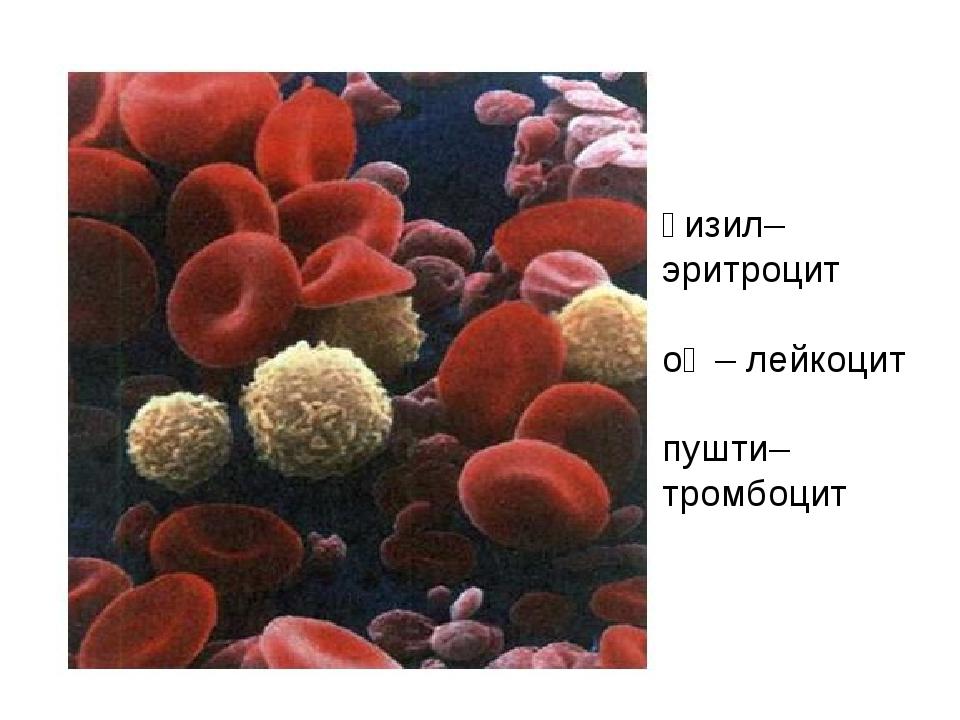 қизил– эритроцит оқ – лейкоцит пушти– тромбоцит