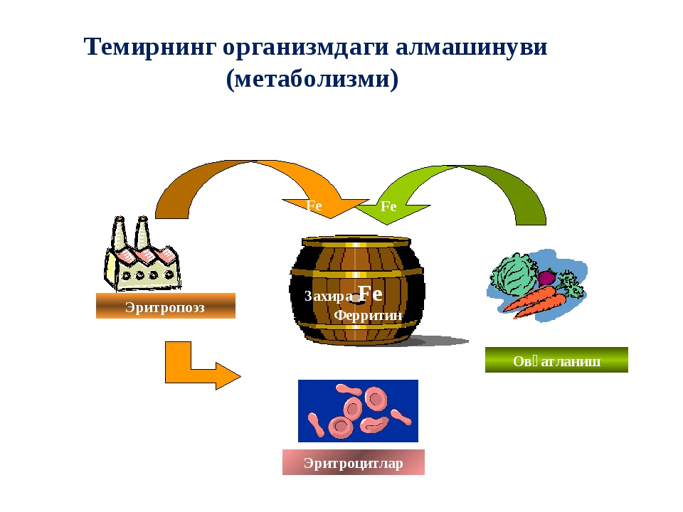 Темирнинг организмдаги алмашинуви (метаболизми) Эритропоэз Эритроцитлар