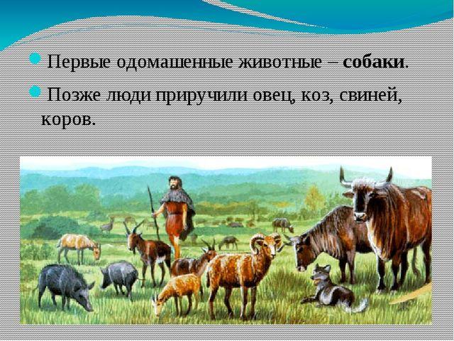Первые одомашенные животные – собаки. Позже люди приручили овец, коз, свиней,...