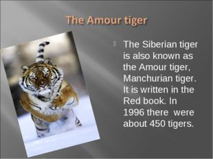 The Siberian tiger is also known as the Amour tiger, Manchurian tiger. It is