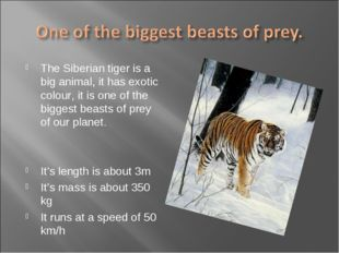 The Siberian tiger is a big animal, it has exotic colour, it is one of the bi