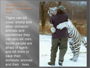 Tigers can kill cows, sheep and other domestic animals and sometimes they can