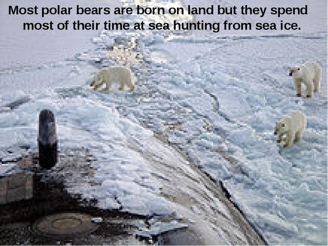 Most polar bears are born on land but they spend most of their time at sea hu...
