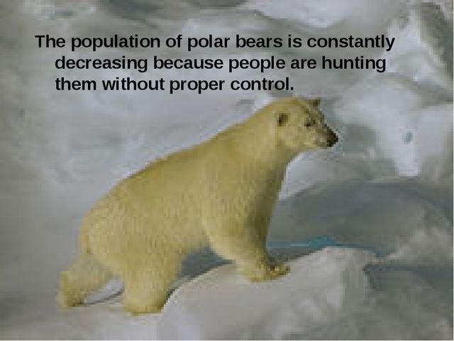The population of polar bears is constantly decreasing because people are hun...