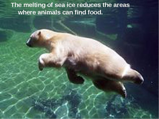 The melting of sea ice reduces the areas where animals can find food.