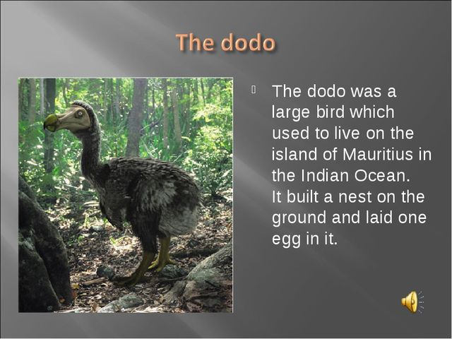 The dodo was a large bird which used to live on the island of Mauritius in th...